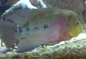 Taking care of your flowerhorn fish with some effective tips for Taking care of fish