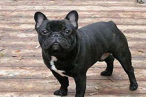 French-Bull-Dog