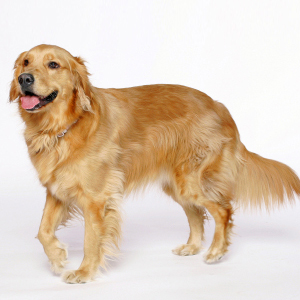 Golden-Retrievers