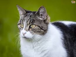 Hyperthyroidism-In-Cats