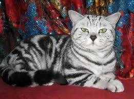 british-cats