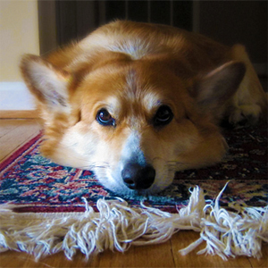 get_dog_smell_out_of_area_rug1