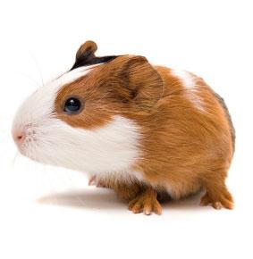 guinea-pig-pet