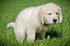 potty-train-a-puppy
