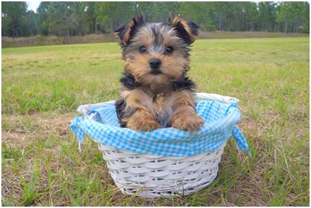 yorkie-puppy