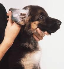 dog ear infection