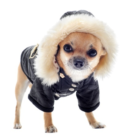 Chihuahua During Winter