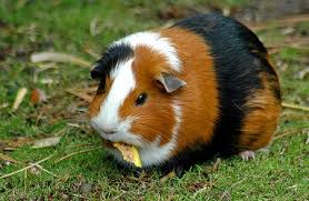 Guinea Pig Eat