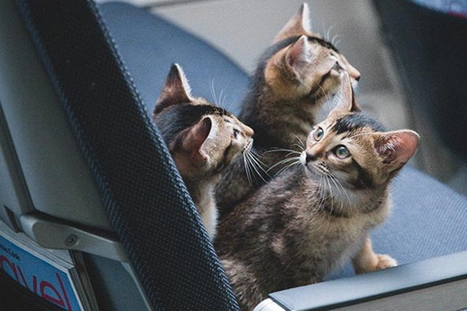 cats in plane